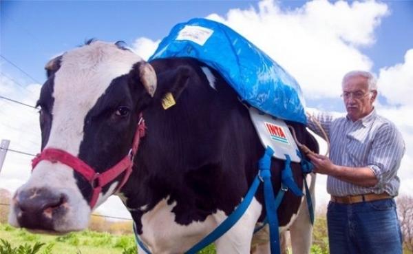 Em um dia, uma vaca contamina o mesmo que um carro que percorre 60 km.