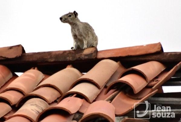 O Mocó sobe no telhado de uma casa abandonada para conferir a paisagem verde.