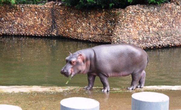 Hipopótamo Yago nasceu em Sorocaba-SP.