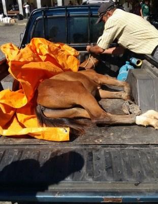 Polícia Militar flagra motorista transportando um cavalo de forma ilegal