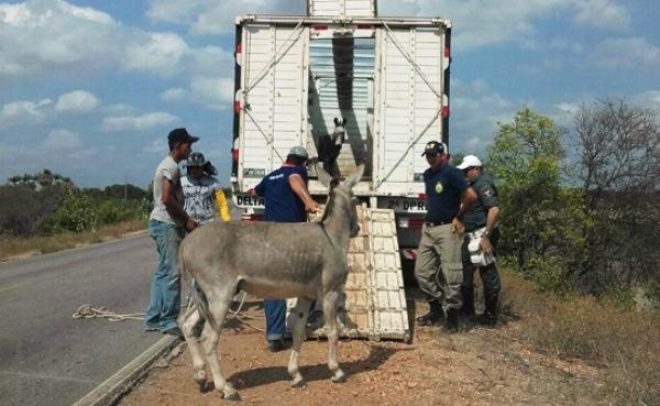 PM realiza Operação Boiadeiro e retira 42 animais de rodovia estadual