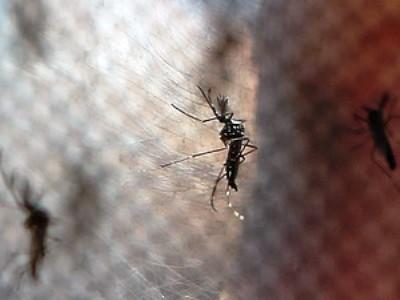 Mosquitos Aedes aegypti, transmissor da dengue (Foto: Fabio Motta/Estadão Conteúdo)