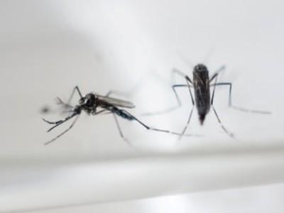 Aedes aegypti, que transmite a dengue, zika e chikungunya (Foto: AFP)