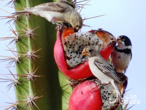 Os Golinhas devorando o fruto.