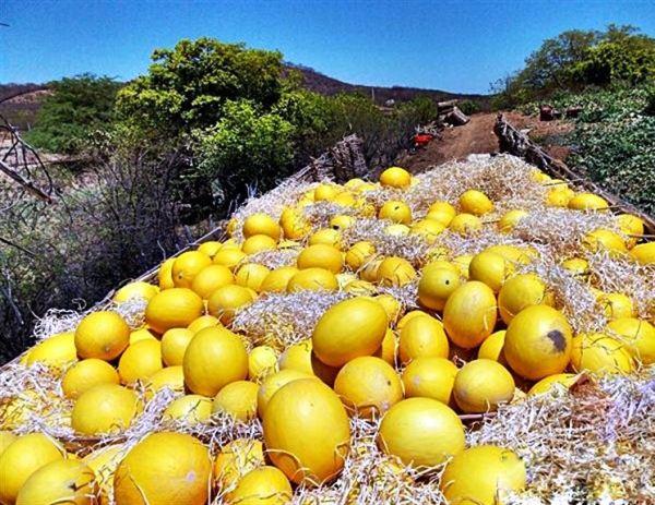 Melões chegam a pesar até 4 kg – Reprodução/Vale do Piancó Notícias