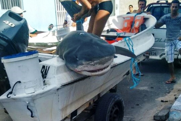 Tubarão de quase 4 metros é capturado na praia de Macau