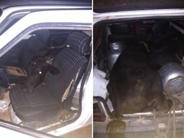 No RN, homem furta boi e coloca o animal dentro de um Fiat Uno