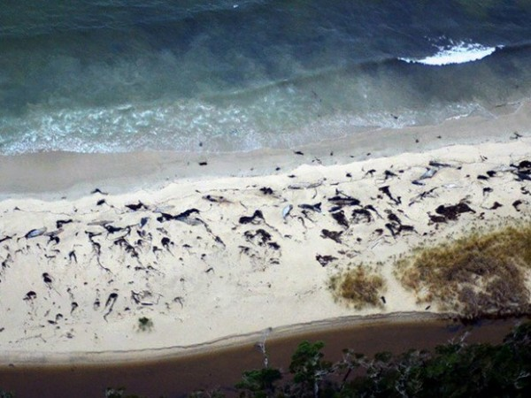 Cerca de 70 baleias são encontradas mortas em praia do sul do Chile