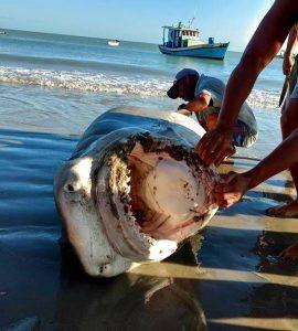 RN: tubarão de quase 4 m é morto no Litoral Norte