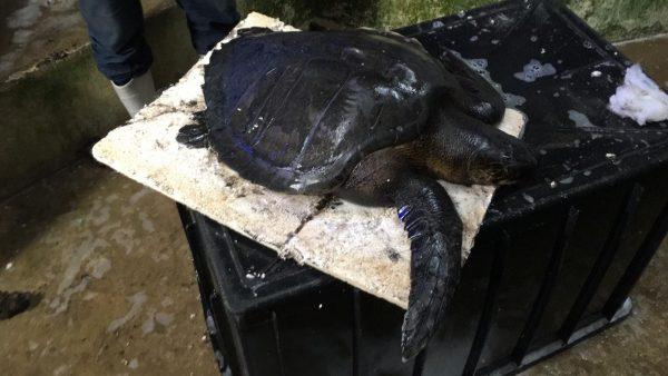 Tartaruga é encontrada coberta por óleo em praia da Grande Natal