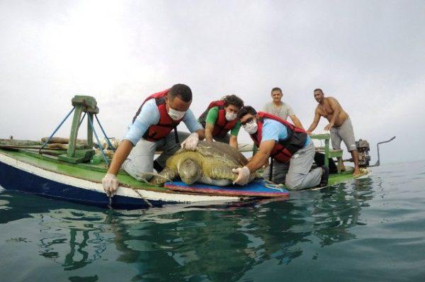 Tartaruga de 150 kg é devolvida ao mar após tratamento no RN